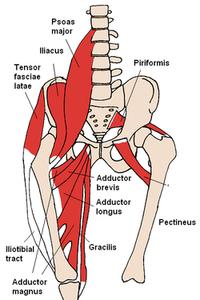 250pxanterior_hip_muscles_2